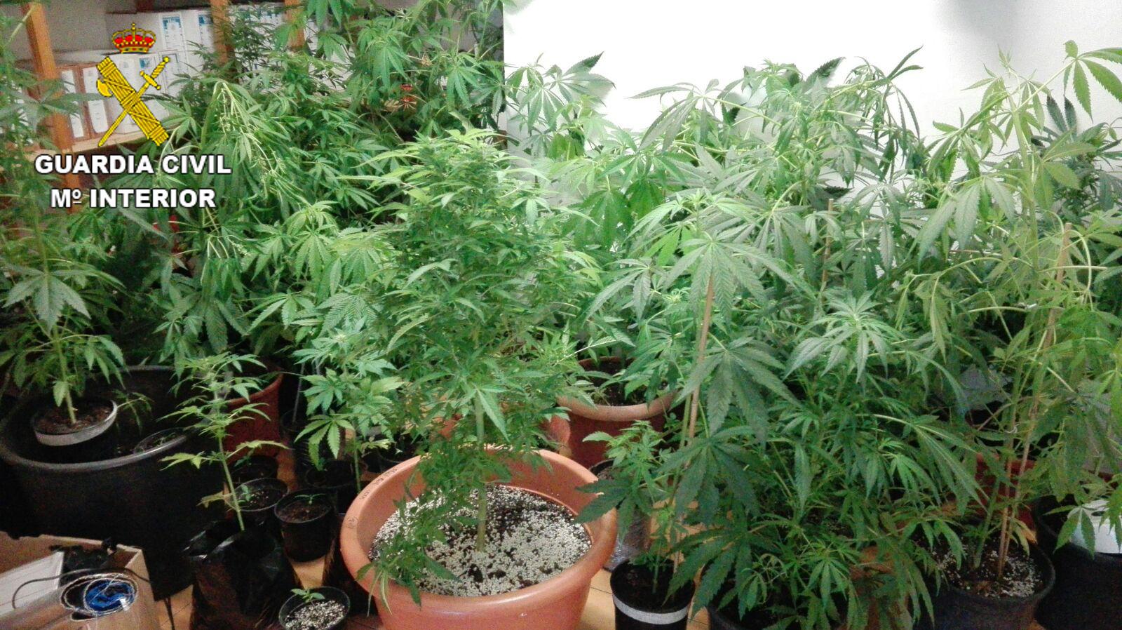 marihuana intervenida en valleseco junio 2016
